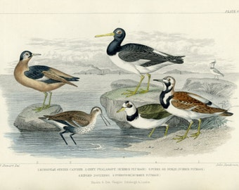Antique, Rare, 1870 Goldsmith, Oyster Catcher, Dunlin, Phalarope, Ringed Dotterel, Turnstone (62) Hand Colored Engraving