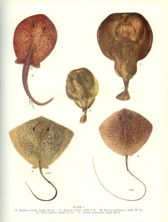 Vintage Fish Print, 1950, Ray, Skate, Margaret Smith, Ichthyology (4) Kitchen Decor, Cottage Decor, Fishing Decor