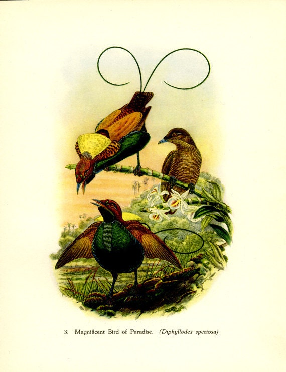 Vintage Bird Print, Magnificent Bird of Paradise, Plate 3, Ornithology, Natural History, 1948, John Gould