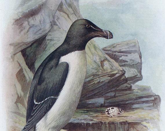 Razorbill, Antique Bird Print, to frame, 1910, George James Rankin, Landsborough Thomson