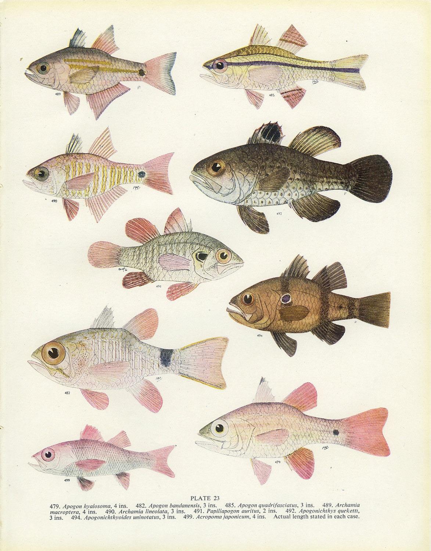 Vintage fish print 1950 23 apogon big eye cardinal for Big fish printing