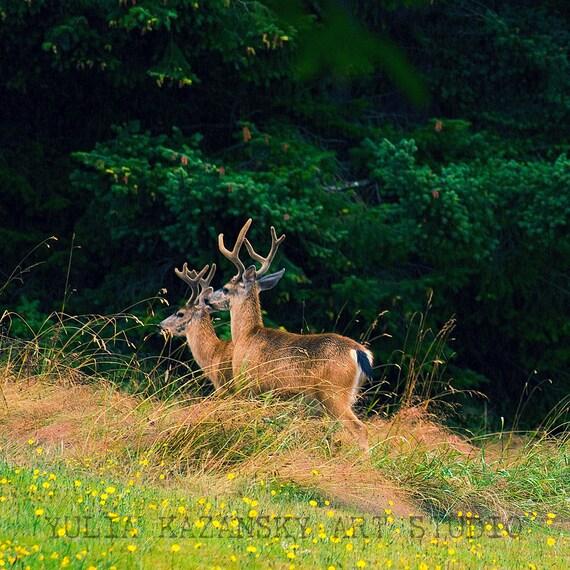 Deer walking in spring woods fine art photography