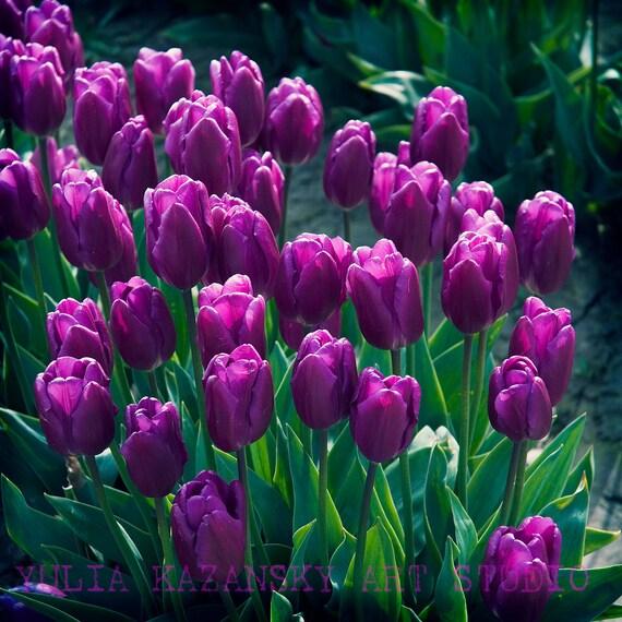 Purple Tulips Photo Print Nature Fine Art By Yuliartstudio