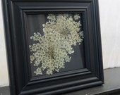 Framed Double Queen Anne's Lace Flower Pressing