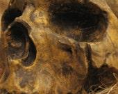 Aged Human Skulls Natural B