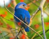 8 x 10 Photograph Bluebird of Spring - Part 2