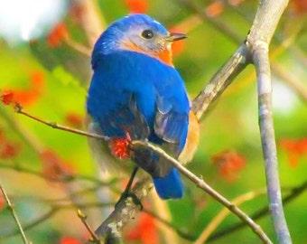Guarding the Nest - 8 x 10 Photograph, Male Bluebird