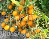 Heirloom Blondkopfchen Tomato Seeds