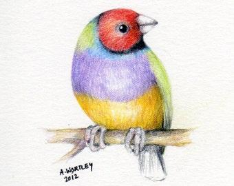 Gouldian Finch - original pencil drawing