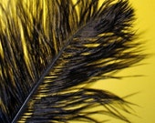 XL Black Ostrich Plumes. 13-16 inches tall. EXCLUSIVE QUALITY.