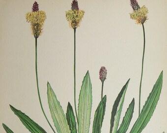 Antique Botanical Print, Vintage Flower Print, Rib Grass Buckthorn 1923 Herbal Print, English Plantain, Nature Art, Vintage Botanical Art