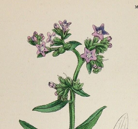 Cabbage Rose Flower Print Purple Abstract Art Kitchen Wall: Antique Botanical Print Flower Herb Print Original 1867