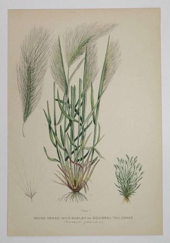 Squirrel Tail Wild Barley Vintage 1923 Botanical Print