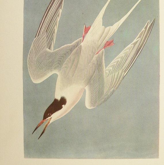 Sea Swallow Gull Vintage 1940s Audubon Color Bird Print Roseate Tern