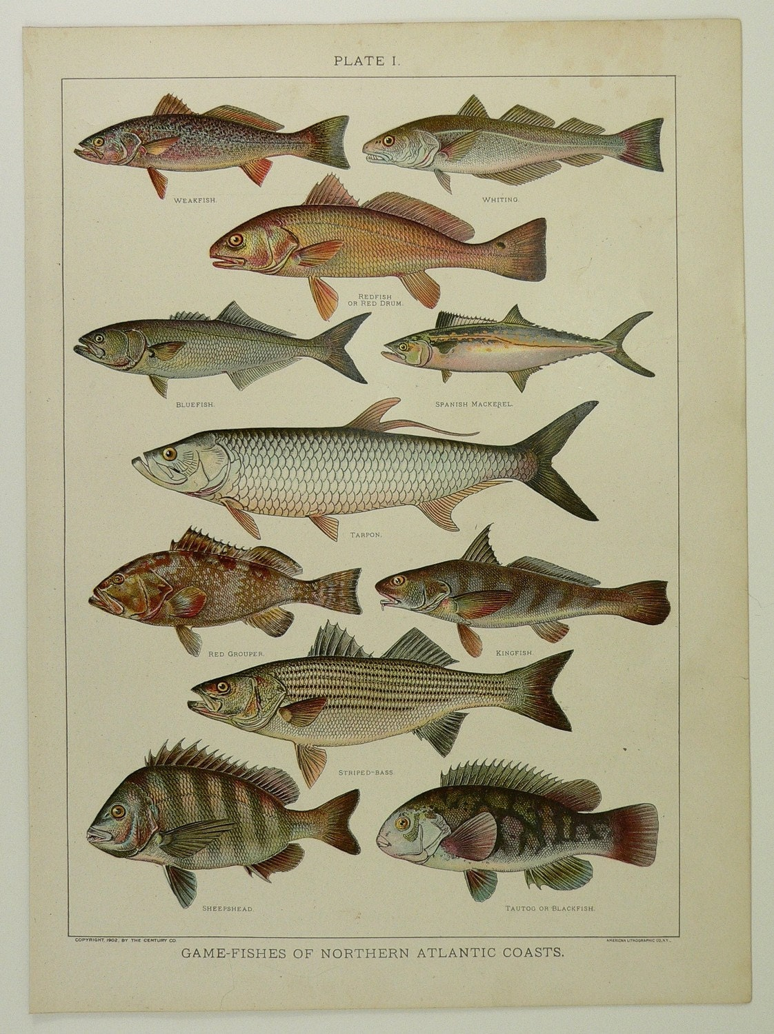 Fish of north atlantic ocean sea coasts antique 1904 color for Atlantic game fish