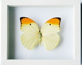 Framed Yellow Brimstone Butterfly Gift Anteos Menippe in White Display
