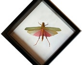 Framed Pink Insect Gift Lophacris Grasshopper Mounted in Black