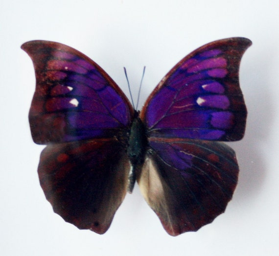 Real Purple Butterfly Pictures