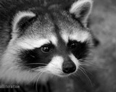 cute raccoon 5x7 photo print