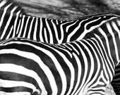 zebra stripes 5x7 photo print