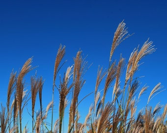 Blue Skies and Golden Grains in the American Midwest Midwestern Art Photograph Photography great for Gift or Home Decor