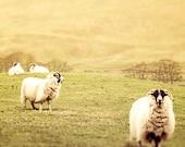 Sheep Photography - Scottish Countryside, Sheep Art Print -  animal decor, sage, neutral, girls room decor, cottage wall art - Watch