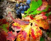 Autumn Vineyard Detail Photograph - fall wine country red yellow green leaf vine art print home decor photo photography