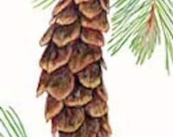 Western White Pine Seeds