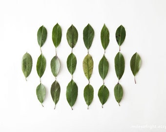 Leaves Collection N2. 8x10. Fine Art Photographic Natural History Print. Minimalist. Natural Home Decor. Indoor garden botanical.