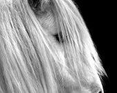 White Horse 2  12 x 8 Wildlife Fine Art Photograpic Print