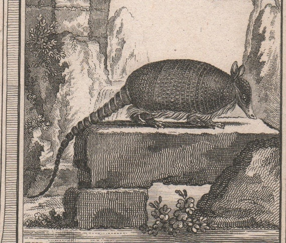 Antique engraving of an armadillo