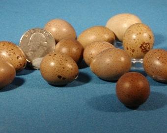 Twelve empty button quail eggshells