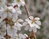 White Spring Flowers photograph - White Weeping Cherry 8x10 fine art print - shabby chic, romantic