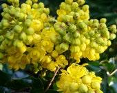 Oregon Grape Holly Seeds (Mahonia aquifolium)
