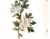 Antique English Botanical Print of White Hawthorne Blooms - MiltonsGrdnMenagerie