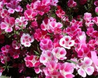 Farewell-to-Spring Seeds (Clarkia amoena)