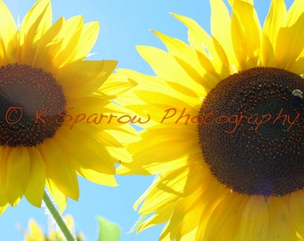 Sunflowers - Matted