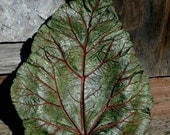 EverLasting Leaves - Concrete Leaf - Green w/Red Rhubarb Bird Bath for DeeKaysDesigns