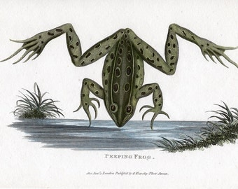 1801 ANTIQUE FROG ENGRAVING rare - original antique print - Shaw and Ndder amphibian hand colored engraving