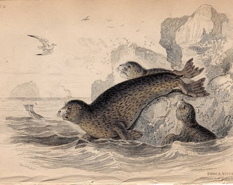 1833 ANTIQUE SEAL ENGRAVING original antique sealife print - common seal