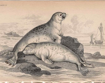 1833 ANTIQUE SEAL ENGRAVING original antique sealife print - common seals