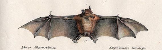 1824 bat original antique print flasher