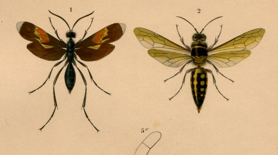 wasps II  1861 antique engraving rare and elegant