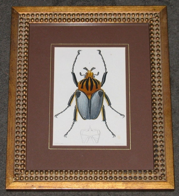 beetle 1861 antique engraving rare and elegant framed and ready to hang