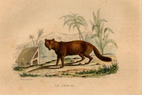 jackal antique 1837 print original engraving