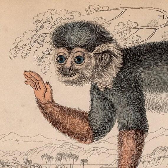 1833 monkey antique print engraving - siamiri monkey