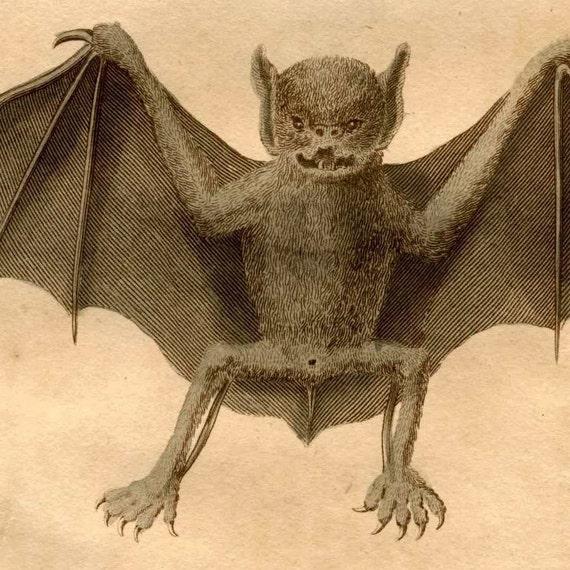 1790 bat rare original antique print - peruvian Bat