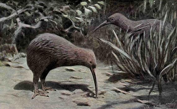 1900 kiwi birds original antique new zealand color lithograph print