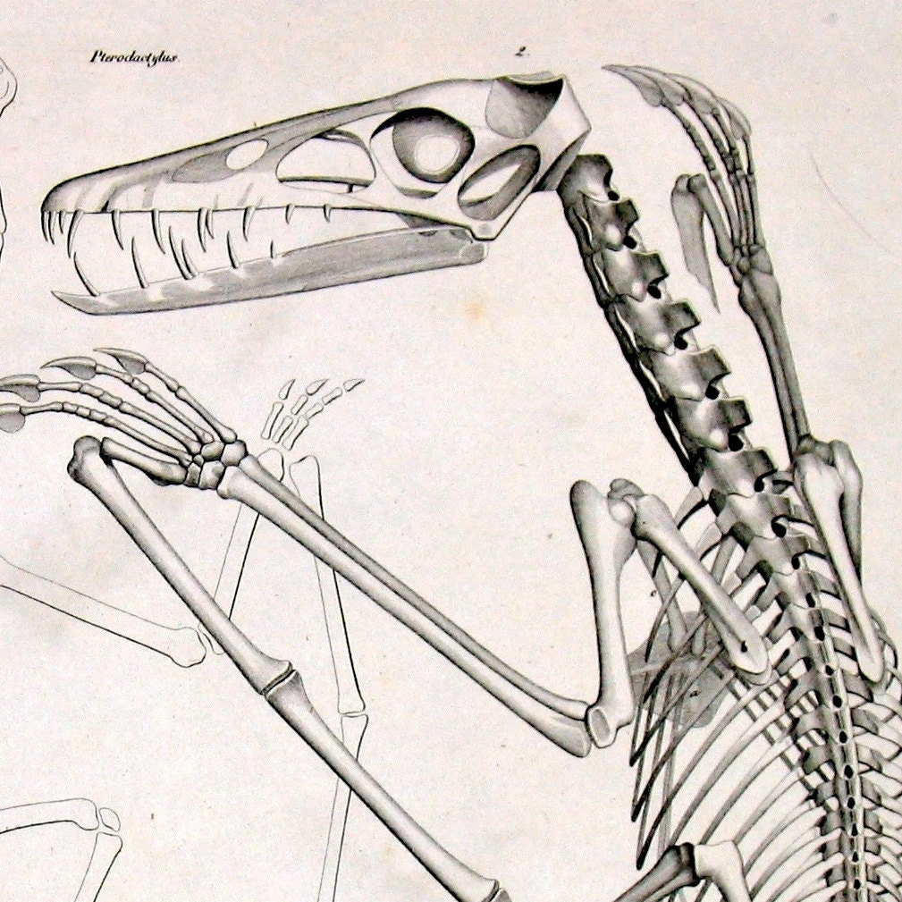 1843 pterodactyl skeleton antique original by antiqueprintstore
