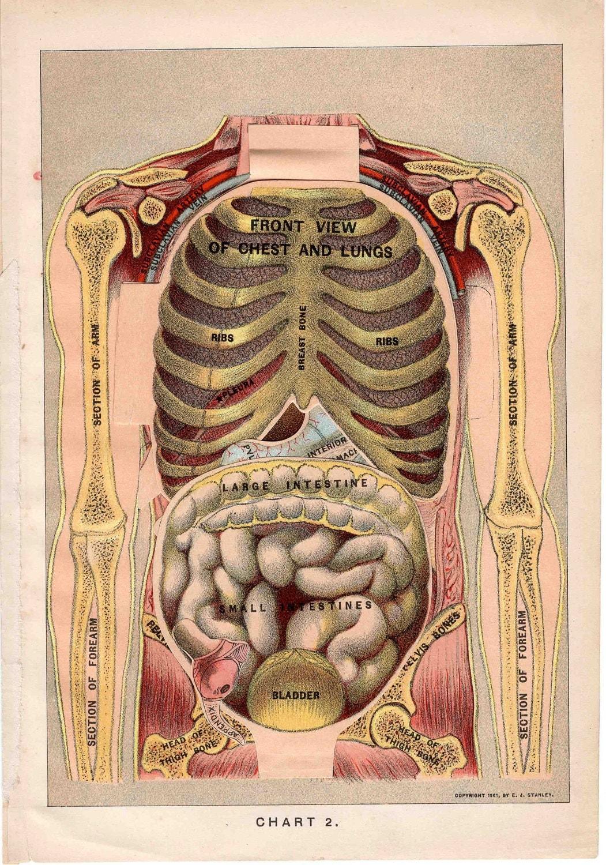 Vintage Anatomical Drawing 1901 human anat...